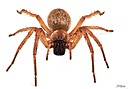 Golden Huntsman Spider by STM in Member Albums