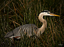 Great Blue heron by STM in Member Albums