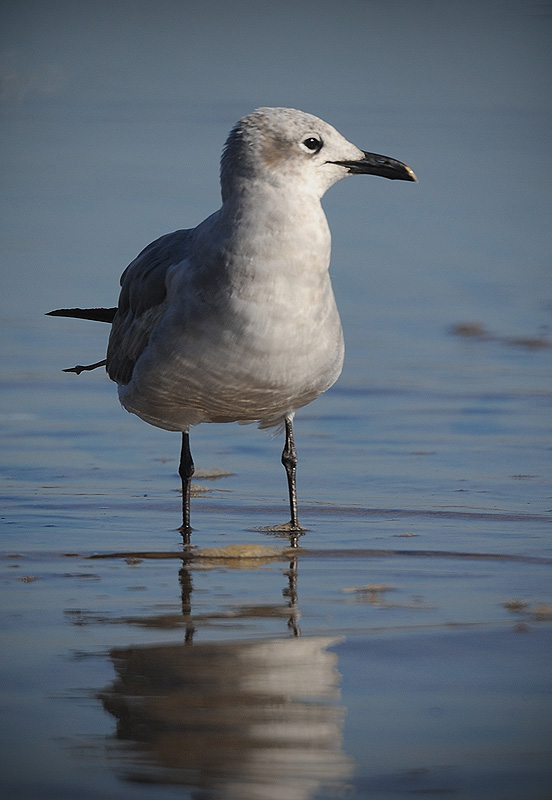 Herring Gull by STM in Member Albums