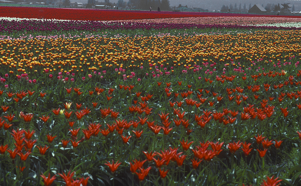 La Conor tulips by STM in Member Albums
