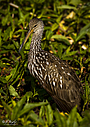 Limpkin by STM in Member Albums
