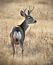 Mule Deer 4 point by STM in Member Albums