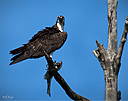 Osprey with Prey by STM in Weekly Photo Challenges