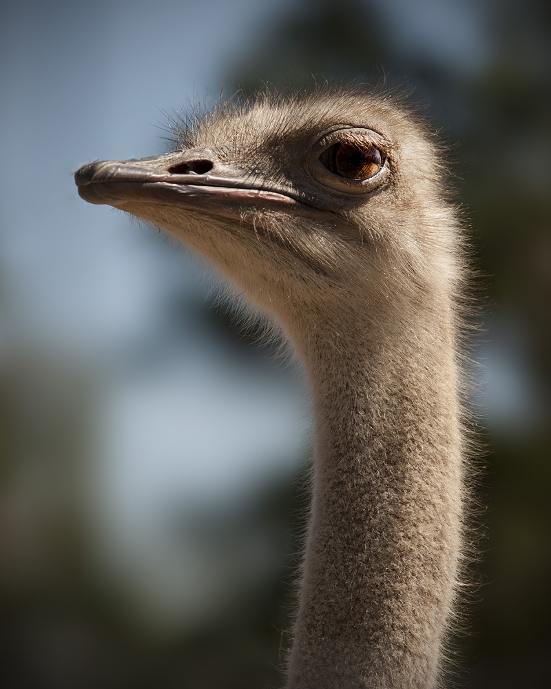 Ostrich by STM in Member Albums