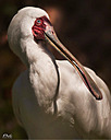 Spoonbill by STM in Member Albums