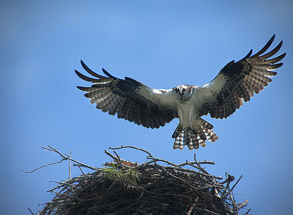 Osprey Returning to Her Nest by STM in Member Albums