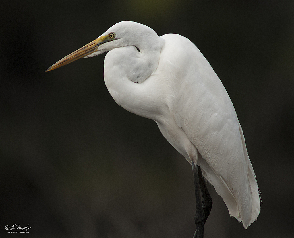 Great Egret by STM in Member Albums
