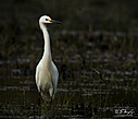 Snowy Egret by STM in Member Albums