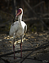 White Ibis by STM in Member Albums