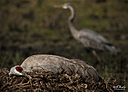 Sandhill Crane and nest by STM in Member Albums