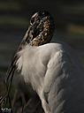 Wood Stork by STM in Member Albums