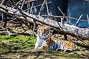 Tiger by Mfrankfort in Zoo