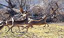 Deer and Geese stampede by casablues in Member Albums