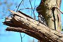 Downy Woodpecker by casablues in Member Albums