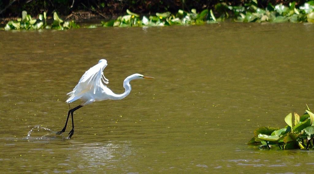 Egret taking off by casablues in Member Albums