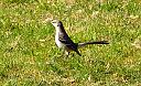 Northern Mockingbird by casablues in Member Albums