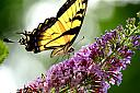 yellow monarch  by casablues in Member Albums