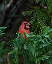 Backyard Cardinal - 3 by Whiskeyman in Member Albums