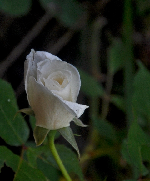 White Rose 2 by Whiskeyman in Member Albums