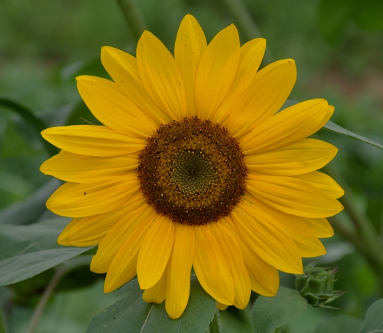 NC Sunflower 1 by Whiskeyman in Member Albums