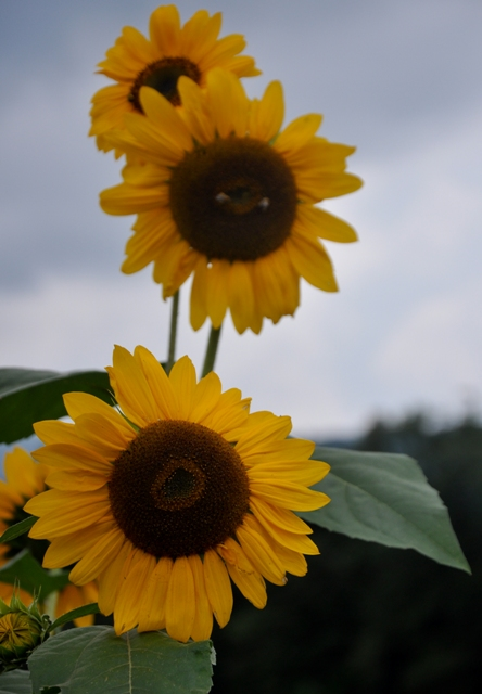 NC Sunflower 2 by Whiskeyman in Member Albums
