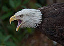 Screaming Eagle by Whiskeyman in Member Albums