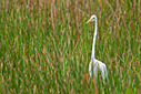 Egret in Grass by Whiskeyman in Member Albums