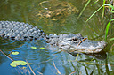 Everglades Gator - 1 by Whiskeyman in Member Albums