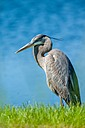 Great Blue Heron by Whiskeyman in Member Albums