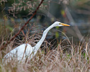 Circle B Bar Egret by Whiskeyman in Member Albums