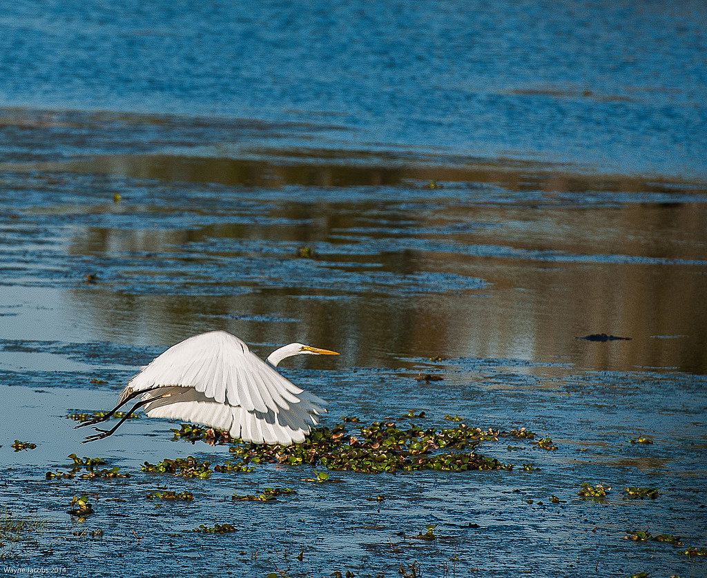 Great Egret Take Off by Whiskeyman in Member Albums
