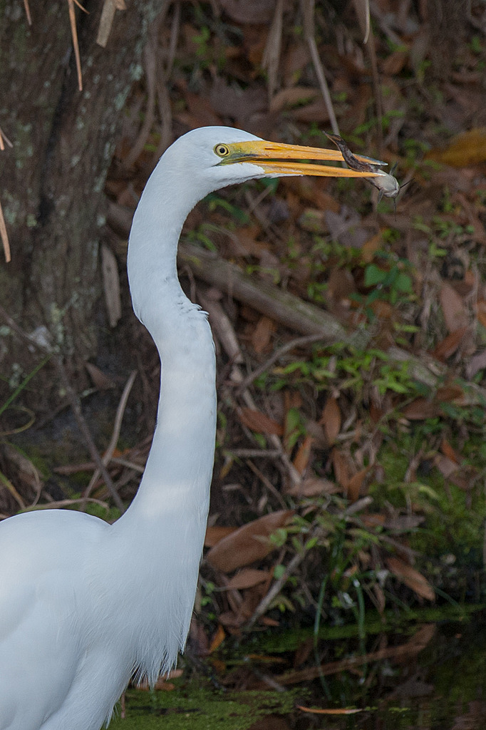 Circle B Bar Egret with lite meal by Whiskeyman in Member Albums