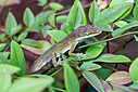 Anole by Whiskeyman in Member Albums