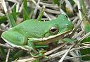 Green Frog by Whiskeyman in Member Albums