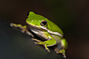 Green Tree Frog 3 by Whiskeyman in Member Albums