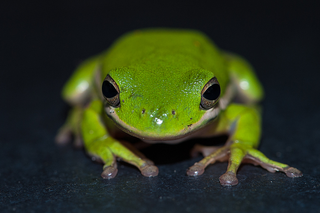 Green Tree Frog 4 by Whiskeyman in Member Albums