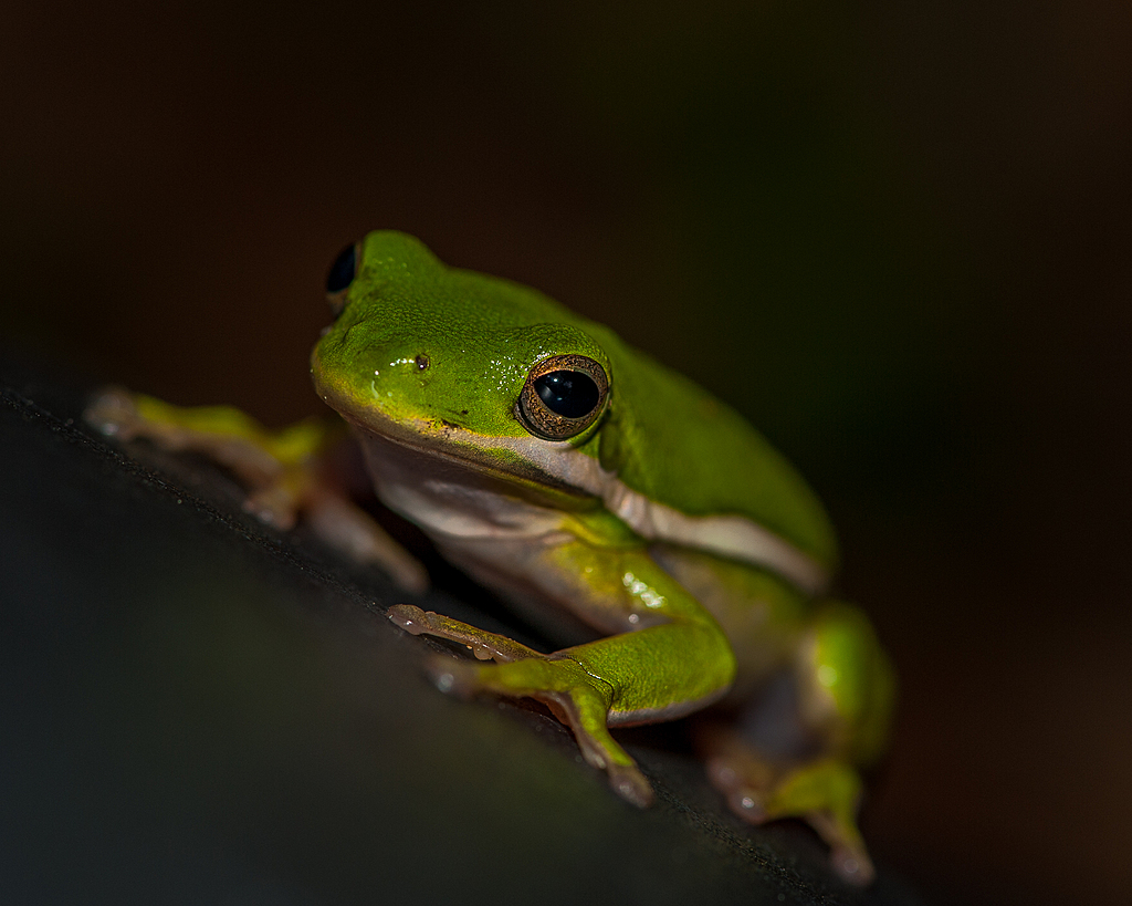 Green Tree Frog 2 by Whiskeyman in Member Albums