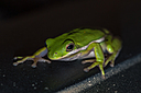 Green Tree Frog 1 by Whiskeyman in Member Albums
