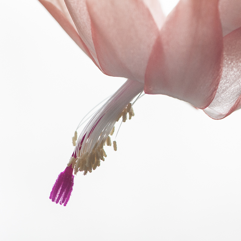 High Key Cactus Blossom by Whiskeyman in Member Albums