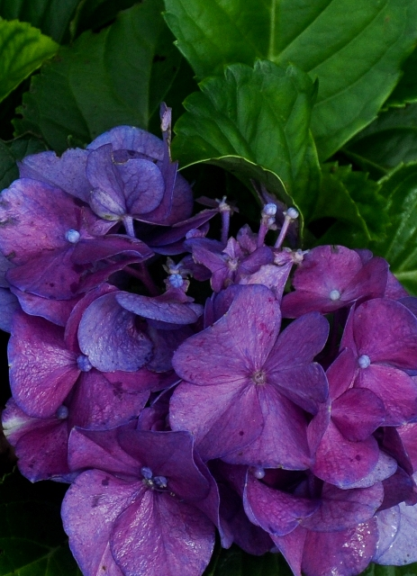 Front Yard Hydrangea by Whiskeyman in Member Albums