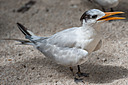 Keys Sandwich Tern-1 by Whiskeyman in Member Albums