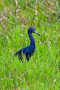 Tricolor Heron in Tall Grass by Whiskeyman in Member Albums