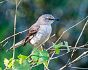 mockingbird  by Whiskeyman in Member Albums