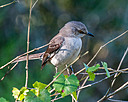 Mockingbird two by Whiskeyman in Member Albums