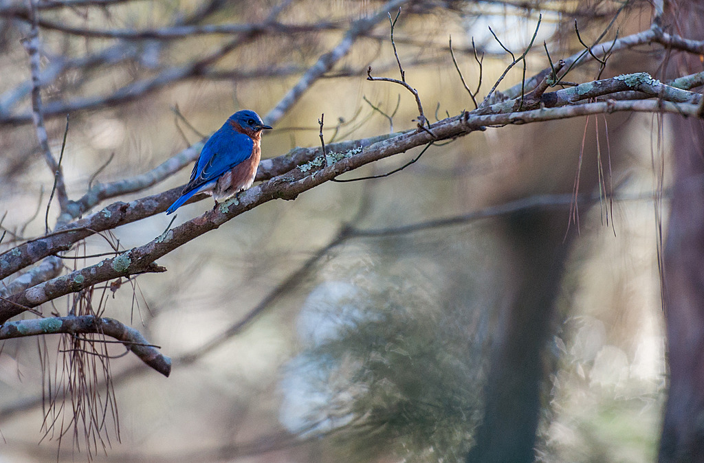 Eastern Bluebird - 1 by Whiskeyman in Member Albums