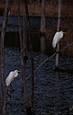 Egret x Two by Whiskeyman in Member Albums