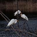 Egret Rookery by Whiskeyman in Member Albums