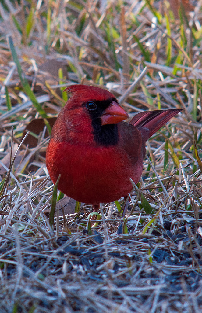 Winter Cardinal by Whiskeyman in Member Albums