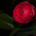 Camelia-1 by Whiskeyman in Member Albums