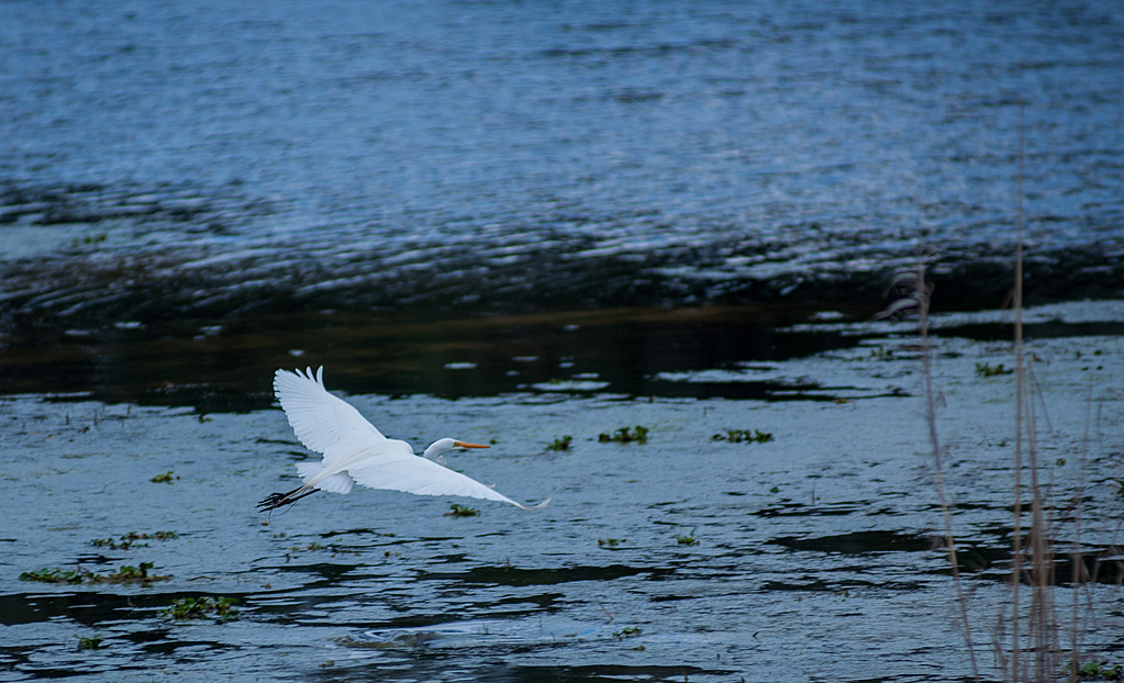 Flying Egret - 1 by Whiskeyman in Member Albums